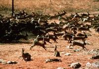 澳洲被近百億隻兔子折騰了幾十年,吃真的能解決它們嗎?