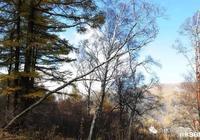 董西平:靜靜的白樺林