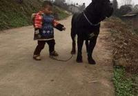小寶寶牽著大黑狗回家,狗狗不想走了,寶寶使出這招後狗狗就服了