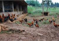 養雞人養雞中遇到的問題,都在這裡揭曉!