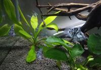 半個月前配對的迷你鸚鵡魚終於順利繁殖,小魚已經起水遊動了