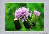 刺兒菜原來就是臨床常用的這種藥,清熱解毒、止血散瘀,農村常見
