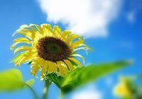 如向日葵般微笑迎接八月「攝影向日葵」