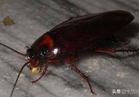 廚房蟑螂多怎麼辦?地上撒一把它,來一隻滅一隻,效果比用藥還好