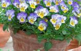 植物美圖:三色堇