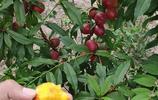 直擊:農家小院油桃壓滿枝,咬一口,裡面是這樣的