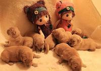 金毛生下11只小狗崽,主人到家發現後差點暈了,竟然抱枕痛哭