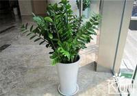 搖錢樹可以放客廳嗎 搖錢樹放在客廳旺運又旺財