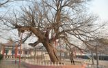 衡水這個小村莊有一顆大槐樹,專家說至少存活了上千年,看看啥樣