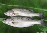 清蒸鱸魚怎麼做?鱸魚的營養價值