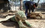 一頭在巴勒斯坦某動物園餓死後變成乾屍的老虎