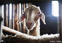 養羊人經驗,這樣養羊收入更高,你知道嗎