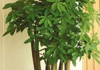 發財樹葉黃不長枝條,盆土下功夫,就能良好改善!
