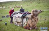 新疆阿勒泰:哈薩克牧民轉場夏季牧場