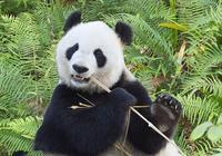 它和大熊貓的實力懸殊,卻成了野生大熊貓的威脅