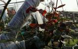 八十年野薔薇老樹價值五千以上,嫁接月季後上萬,山民別樣致富