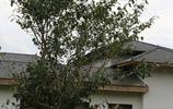 古茶樹知多少?6圖均為位於利川忠路鎮茶博園的古茶樹