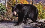 生物圖集:黑熊