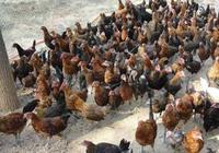 雞的大腸桿菌防控方法