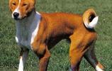 寵物圖集:巴仙吉犬