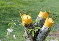 果樹嫁接用什麼包紮膜好,成活率高?