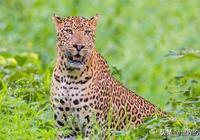 這種貓科動物美洲豹之下無對手,但卻處處被猛犬剋制