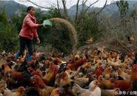 土雞養殖戶:我哭了,我再也不養土雞了!