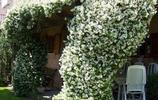 適合南北方養殖的八種爬藤植物,陽臺立馬變成小花園