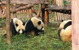 去成都大熊貓繁育研究基地看大熊貓啦