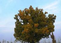 千年傳奇白果樹——鹿邑歷史文化傳說