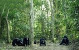 與人類最接近的動物——攝影師鏡頭下的黑猩猩