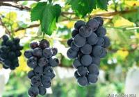 總結!從我國葡萄產業的發展歷程窺探未來走勢