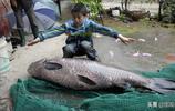 男子凌晨3點半釣上大青魚,體長1.4米、重78斤,三人抬回家