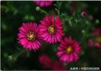 花開此時,家庭盆栽花卉——荷蘭菊的栽培技術