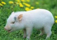 仔豬咳嗽能作為狂犬苗嗎?