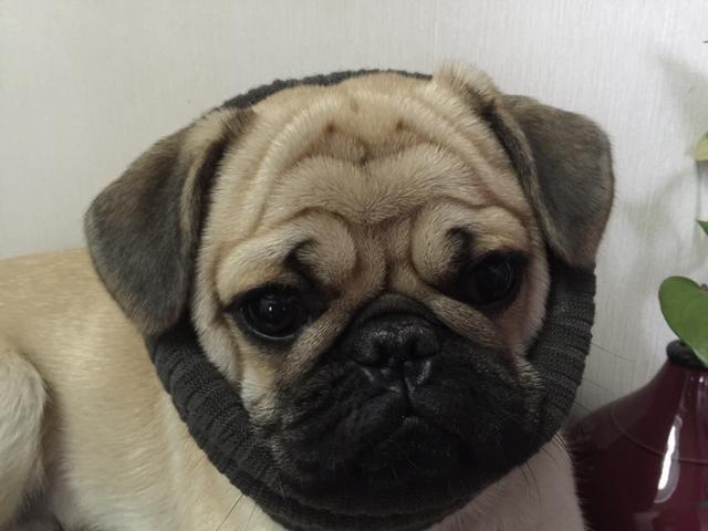 想買條巴哥犬或泰迪犬,大概多少錢?