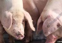 其實治豬病還是它靠譜,但很多獸醫不用,原因可能你沒有想到!