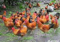 土雞主要吃什麼呢,土雞飼料怎樣配比?