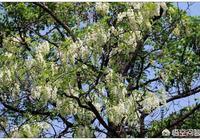 農村槐樹上的洋槐花有多少種吃法?你最喜歡哪種呢?