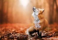老翁買了一隻受傷的狐狸,與狐狸結為知己,狐狸投生為老翁兒子
