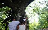 重慶有一棵千年夫妻樹,能容納上百人嬉戲,一半結柿子一半結糖梨