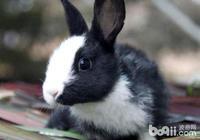 荷蘭兔吃什麼?荷蘭兔飲食習慣介紹及餵食方式