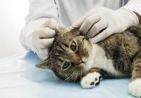 貓的耳蟎治起來其實很簡單,只是你沒有用對方法!