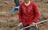 紅薯熟了,村裡老人紛紛趕來撿漏,看老人挖的熱火朝天究竟為啥!