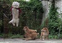 貓咪越獄成功後,三隻小柴犬一臉崇拜:大哥教教我們