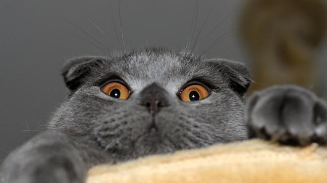 動物圖集:胖嘟嘟折耳貓