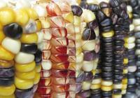 """墨西哥玉米""""無肥也壯""""之謎揭開:能從空氣中搶氮肥"""