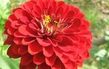 又到收集花籽的時候了,今天我們來說說如何收集百日菊
