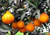 醜柑柑桔不知火怎樣在各生長期進行修剪?