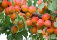 華州清明山的杏林